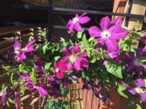 God Who Sees Purple Clematis