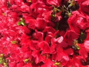 God Who Sees Red Azaleas