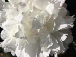 God Who Sees White Peony