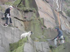 sheep over ledge