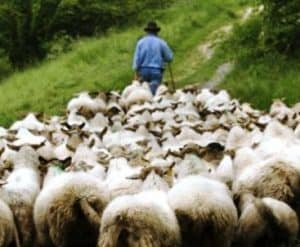 sheep follow